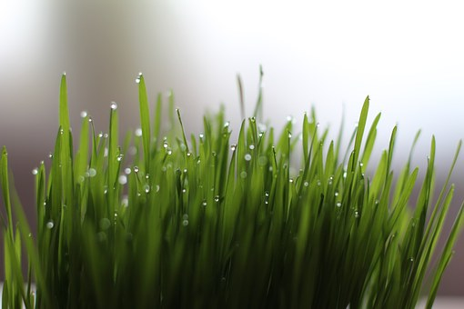 All You Need To Know About Wheatgrass and Its Benefits